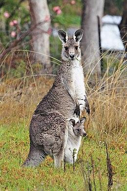Kanguru kelimesinin anlamı