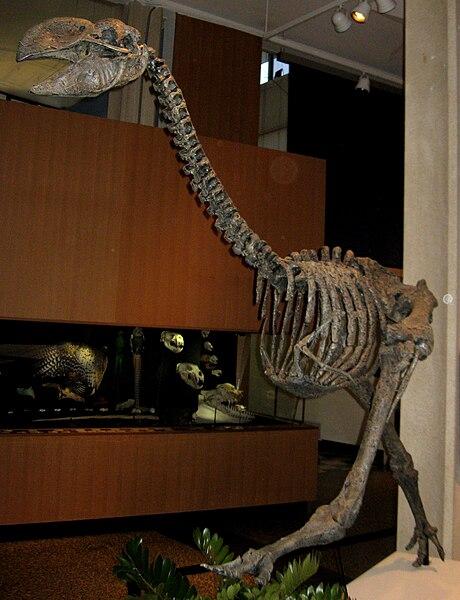 File:Dromornis stirtoni 01.jpg