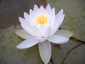 Water-lily Indian lotus flower, one of many se...