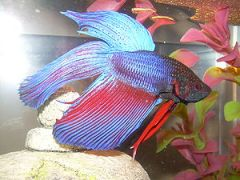 Red and blue Betta splendens.