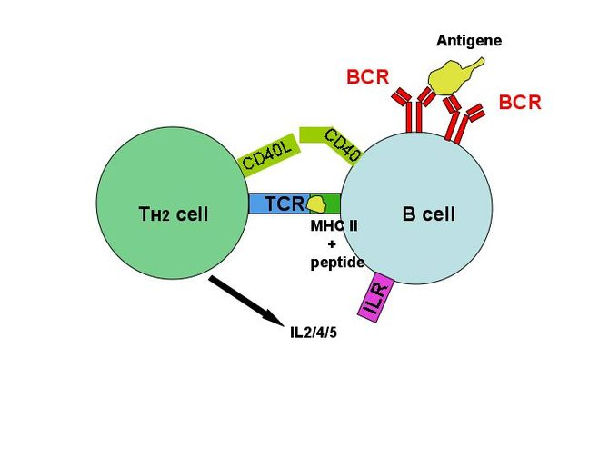 T-cell dependent b-cell activation, showing TH...