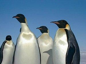 English: Emperor penguins Français : Manchots ...