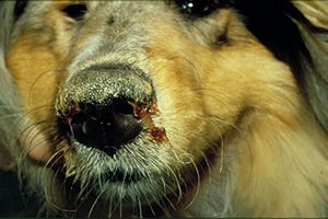 English: Dog suffering from Canine distemper F...
