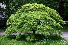 Картинки по запросу Габитус дерева