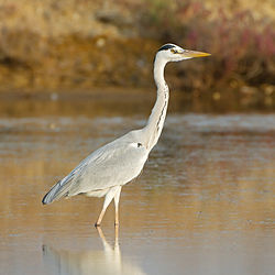 Grey Heron   Simple English Wikipedia  the free encyclopedia Grey Heron