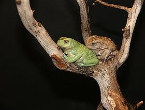 Waxy Monkey Tree Frogs, Phyllomedusa sauvagii ...