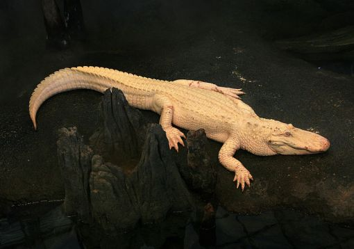 Albino Alligator 2008 by Mila Zinkova, used under CC-BY-SA 3.0 license