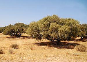 Plantation of argans