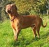 Dogue de Bordeaux standing.jpg