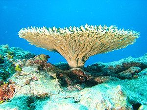 Table coral of genus Acropora (Acroporidae) at...