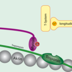 Troponin and tropomyosin.