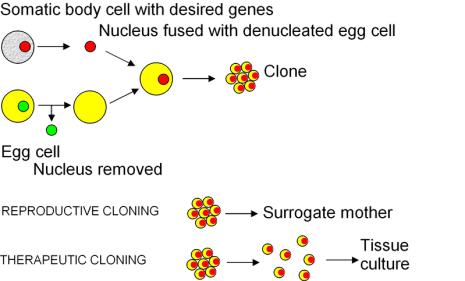 File:Cloning diagram english.png