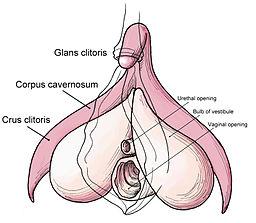 Clitoris anatomy labeled-en