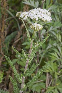 Français : Achillea millefolium - Achillée mil...