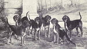 Kerry Beagle from 1915