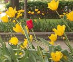 A red tulip in a sea of yellow tulips.