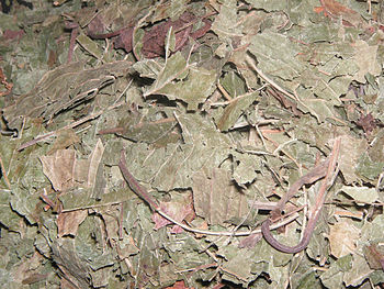 English: Dried Kratom leaves about to be brewe...
