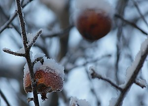 English: Apple tree with snow and rotten apple...