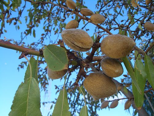 Kadina-almonds-0711