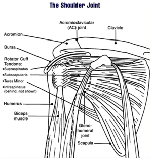 The human shoulder joint