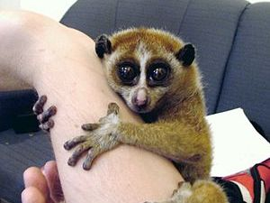 English: A female Pygmy Slow Loris (Nycticebus...