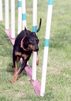 Toy-manchester-terrier-weave.png