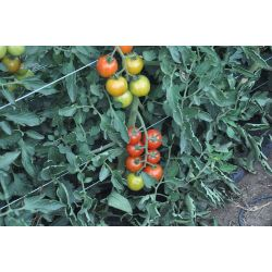 Small Crop Of Sweet 100 Tomato