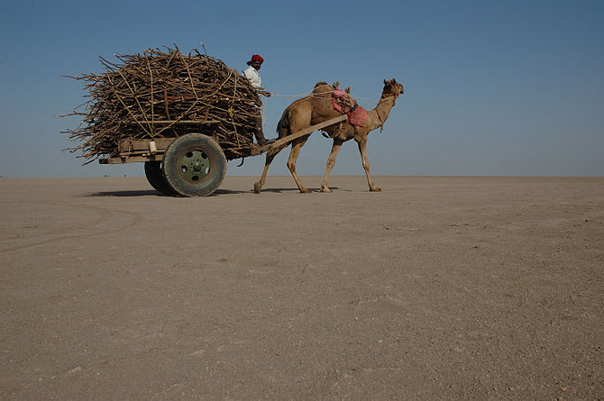 A camel drawing a cart loaded with wood in the...