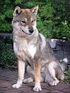 Shikoku dog.jpg