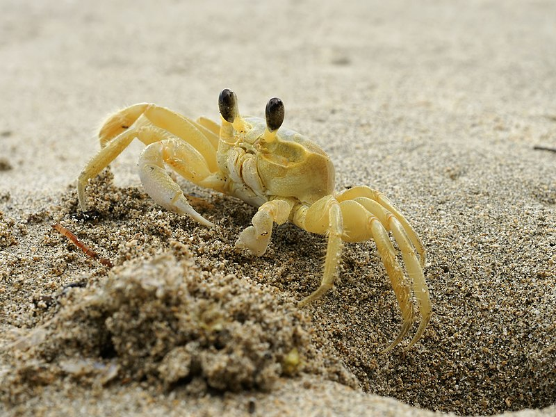 Ghost Crab via Wikipedia