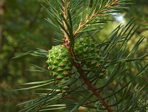 English: The Scots Pine - cones (Pinus sylvest...