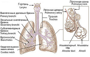Bronchi, bronchial tree, and lungs (+ Russian ...