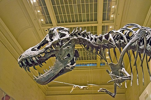 Tyrannosaurus Rex skeleton is on display in the Dinosaurs hall at the Smithsonian's National Museum of Natural History in Washington, D.C.
