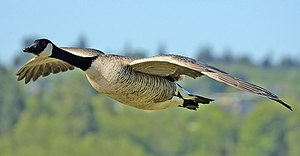 A Canada Goose flying at Burnaby Lake Regional...