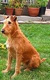 Irish terrier sitting.jpg