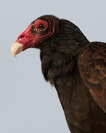 Turkey Vulture in Miami, Florida, USA.