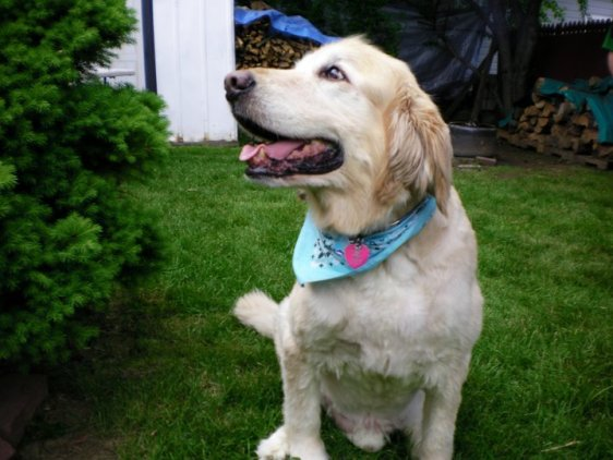 A Golden Retriever at 12 years old with hip pr...