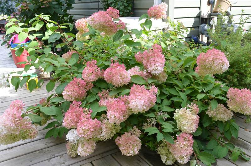 Large Of Hydrangea Pinky Winky