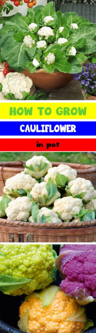 how to grow cauliflower in pot 3