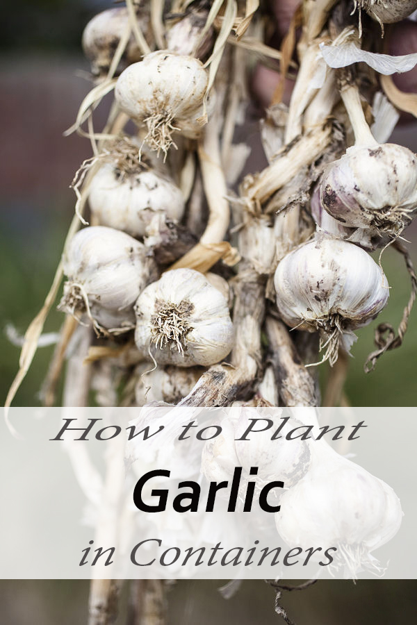 how to plant garlic in containers urban gardening ideas. Black Bedroom Furniture Sets. Home Design Ideas