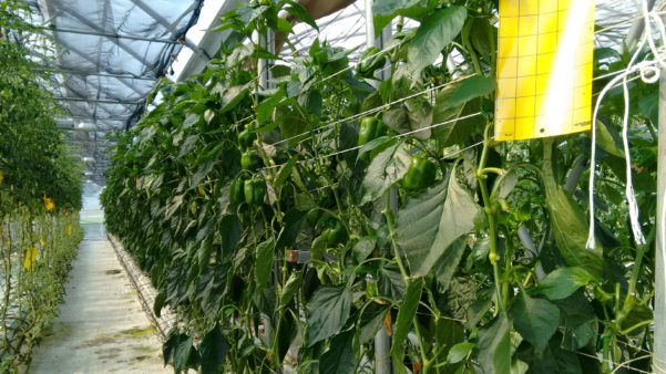 Auroras-greenhouse-grown-peppers