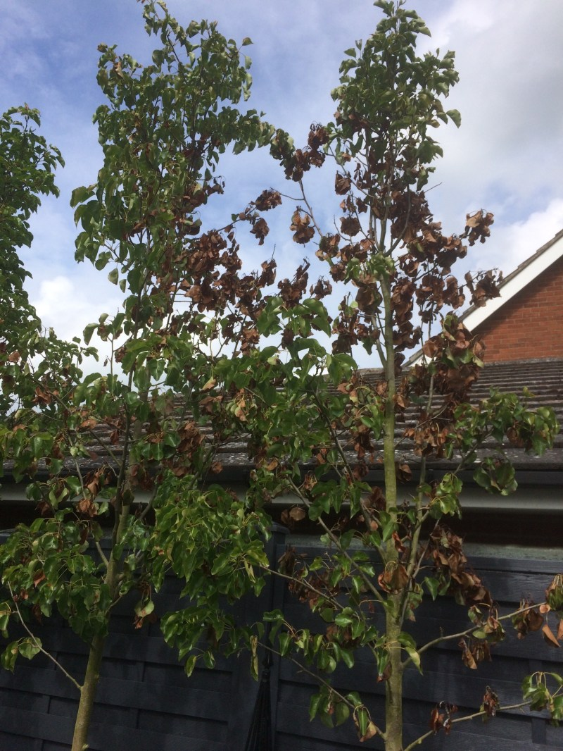 Large Of Ornamental Pear Tree