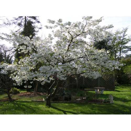 Medium Crop Of Stella Cherry Tree