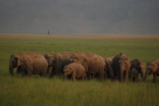 Wild elephant herd in Jim Corbett National Park