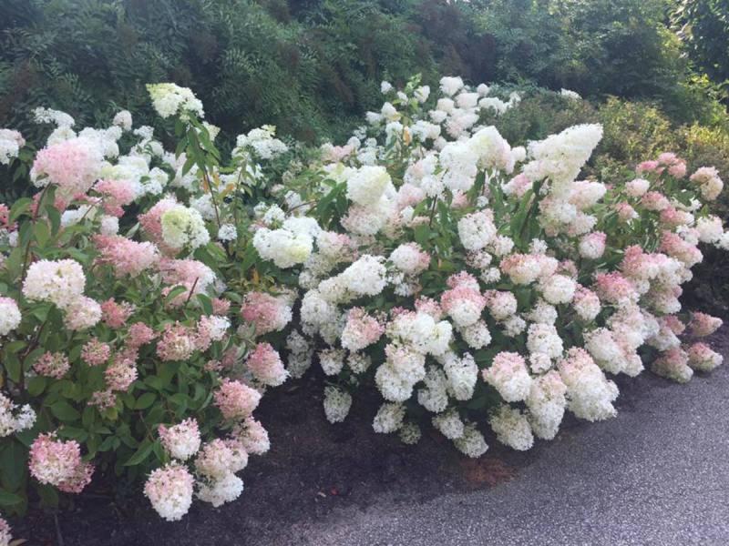 Large Of Strawberry Vanilla Hydrangea