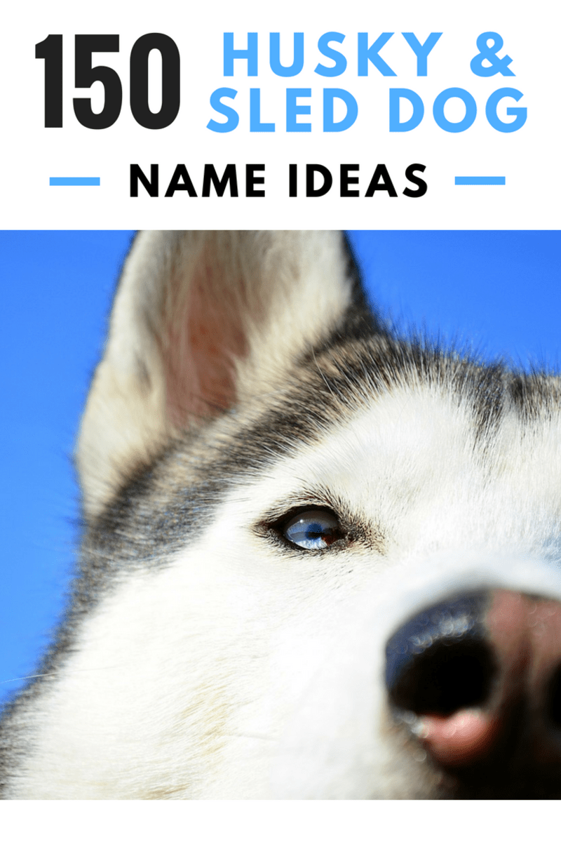 Attractive Sled Dog Name Ideas Pelpful Siberian Husky Names Spanish Males Siberian Husky Names Husky Names bark post Siberian Husky Names