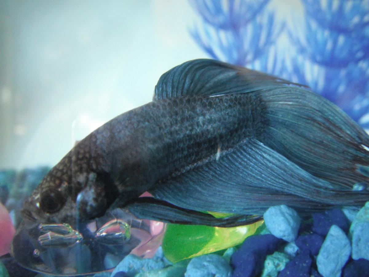 Prodigious Betta Fish Just Say Pelpful Betta Fish Not Eating Flakes Or Pellets Betta Fish Not Eating Much houzz-03 Betta Fish Not Eating