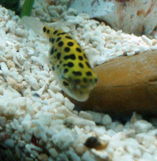 Semi Aggressive Freshwater Fish for a Tropical Aquarium | PetHelpful