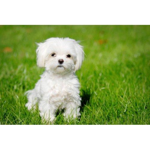 Medium Crop Of White Fluffy Dog Breeds