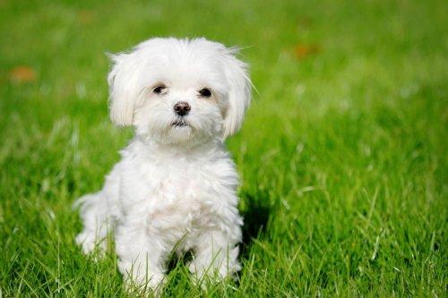 Medium Of White Fluffy Dog Breeds
